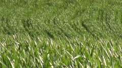 Cereal Field on a Windy Day - stock footage