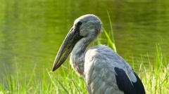 Asian openbill stork bird. Stock Footage