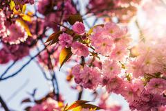 pink blossomed sakura flowers - stock photo