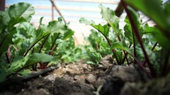 Plantation of Beet in a Greenhouse Stock Footage