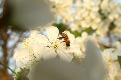 bee springtime - stock photo