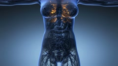 Science anatomy of woman body with glow lungs in blue Stock Footage