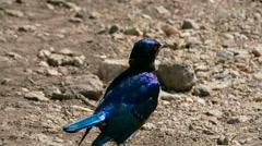 Bird abstract walking on the ground target camera. Tanzania. Africa. - stock footage