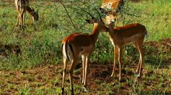 Thomson's gazelles pasturing in savanna. Safari static camera.Masai Mara. Stock Footage