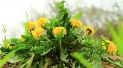 Macro green bush of yellow dandelions in the wind Stock Footage