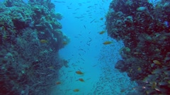 School of fish Glassy Sweepers (Pempheris schomburgkii) Stock Footage
