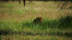 Lion sitting in savanna Masai Mara static camera. Safari. Africa. Kenya. Stock Footage
