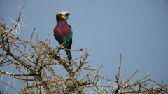 Lilac-breasted roller sitting on tree branch static camera. Safari. Tanzania. - stock footage