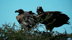 Two Vultures in nest static camera view. Safari. Africa. Tanzania. Ngorongoro. - stock footage