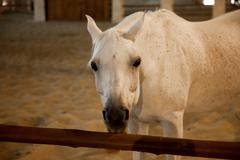 White Arabic thoroughbred horse in Doha, Qatar - stock photo
