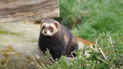 Polecat. Close Up Sitting on a Rock Stock Footage