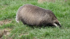 Badger (meles meles) out in the daytime foraging in the grass - stock footage