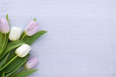 White and Lilac Tulips on Striped Textile Background Stock Photos