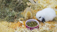 Small rabbits eat and have fun in the paddock - stock footage