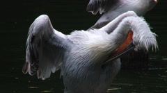 Pelican bird cleans feathers in Singapore bird park. Stock Footage