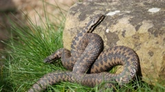 Adder Snakes Entwined ( Vipera berus) on a Sunny Spring Day Stock Footage
