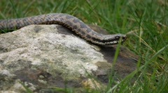 Adder Snake Climbing a Rock ( Vipera berus) on a Sunny Spring Day Stock Footage