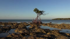 Pan of Red Mangrove, Rhizophora mangle, on a rocky shore at low tide Stock Footage