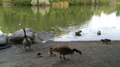 Canadian Geese on the lake Stock Footage