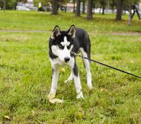husky dog outside on a leash walking, green grass in park - stock photo