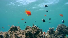 Schools of Sea goldie (Jevel fairy basslet) Stock Footage