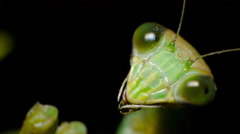 Chinese mantis female at night, head close-up. Stock Footage