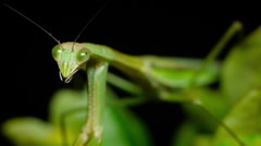 Chinese mantis female at night, in foliage. Stock Footage