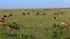 Thompson Gazelle herd eating from ground. static camera. Kenya. Masai Mara. Stock Footage