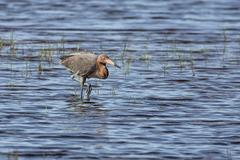 Reddish Egret Wades Wetland - stock photo