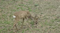 Baby Deer Grazing Stock Footage