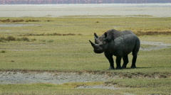 Rhinoceros standing in savanna static camera. Serengeti Ngorongoro. Copyspace. - stock footage