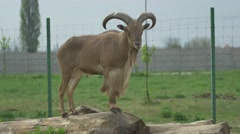 Standing Barbary Sheep Stock Footage