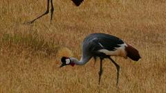Grey crowned crane pasturing in savanna. Kenya. Masai Mara. Target camera. Stock Footage