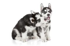 Husky puppies isolated on white - stock photo