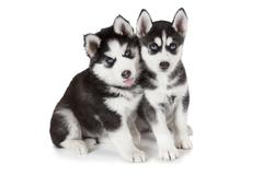 Husky puppies over white - stock photo
