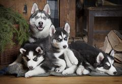 Sled dog (Husky) family Stock Photos