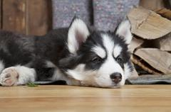 Husky puppy lying on the floor - stock photo