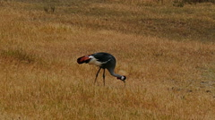 Grey crowned crane eating food from ground. Africa. Kenya. Static camera. - stock footage