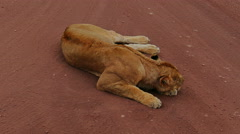 Lion is sleeping in savanna static camera view. Africa. Tanzania. Wild nature. - stock footage