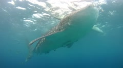 Whale shark (Rhincodon typus) Stock Footage