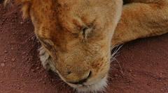 Lion is sleeping in savanna close up camera view. Safari. Africa. Tanzania. - stock footage