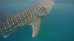 Whale shark (Rhincodon typus) Arkistovideo