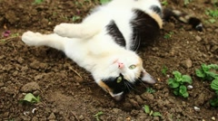 White with red and black patches cat basking in the sun in spring in village Stock Footage