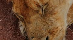 Lion is sleeping in savanna camera view. Tanzania. Serengeti Ngorongoro crater. - stock footage
