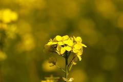 Flowering canola. spring Stock Photos