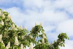 blooming chestnut tree in the spring - stock photo