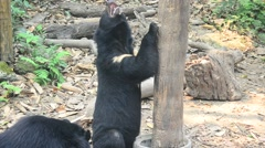 Asiatic black bear moving in forest Stock Footage