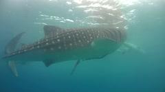 Whale shark (Rhincodon typus) Stock Footage