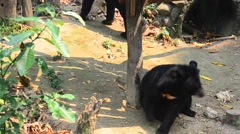 Himalayan black bear moving in forest Stock Footage