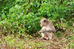 Monkey waiting for and looking for chance to stolen food in an island of anda Stock Photos
